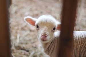 Lambs Amongst Wolves Isaiah 11:6